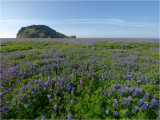 Lupines forever