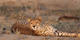 Reclining cheetah, Tanzania (print 20x12)