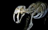 Sabre-tooth cat