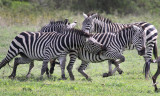 Put in Her Place, Common zebra