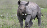 Please...Eat the Daisies, Black Rhino