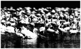 African White pelicans with lesser flamingos
