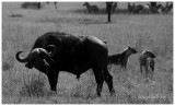 Cape buffalo with spotted hyenas