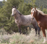 Piceance/E Douglas Wild Horse Identification Photo Galleries