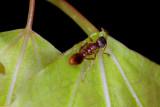 Myrmica-on-Populus-EFN.jpg