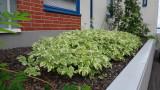 Aegopodium-podagraria_variegata.jpg