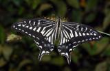 Papilio-xuthus.jpg