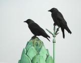 Corvus-monedula.jpg