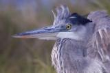 96987c - Great Blue Heron