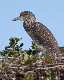 40_13606c - Juvenile  Night Heron