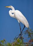 100623 - Great Egret