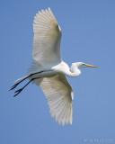 100632c - Great Egret
