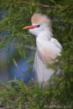 100644 - Cattle Egret in breeding plumage
