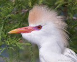 100645c - Cattle Egret in breeding plumage