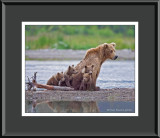 88065 - Grizzly Sow with Cubs (unframed)