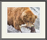 87632  - Grizzly Bear Catching Salmon   (unframed)