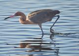N_111890 - Reddish Egret