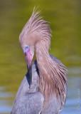 N_112004c - Reddish Egret - preening
