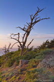7D_1701 - Dead Tree, San Francisco