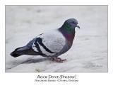 Rock Dove-001