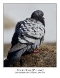 Pigeon-002