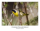 Common Yellowthroats