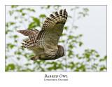 Barred Owl-030