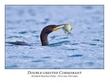 Double-crested Cormorant-013