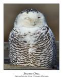 Snowy Owl-120
