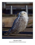 Snowy Owl-121