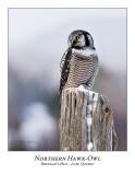 Northern Hawk-Owl-084