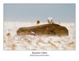 Snowy Owl-122