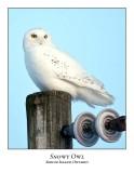 Snowy Owl-123