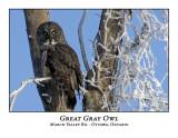 Great Gray Owl-001