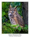 Great Horned Owl-002