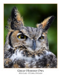 Great Horned Owl-003