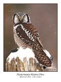 Northern Hawk-Owl-001