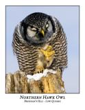 Northern Hawk-Owl-002