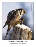 Northern Hawk-Owl-014