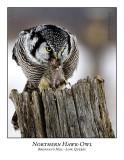 Northern Hawk-Owl-004