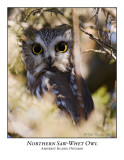 Northern Saw-whet Owl-001