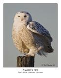 Snowy Owl-001