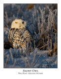 Snowy Owl-002