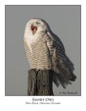 Snowy Owl-003