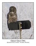 Great Gray Owl-002