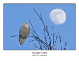 Snowy Owl-004
