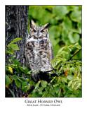 Great Horned Owl-004