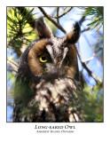 Long-eared Owl-001