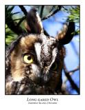Long-eared Owl-002