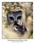 Northern Saw-whet Owl-002
